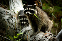 Raccoon with Young